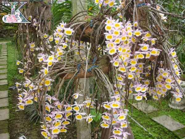 hoa lan rừng đẹp